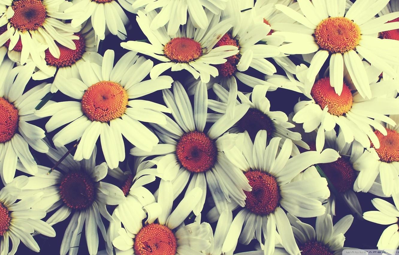 Wallpaper chamomile, bouquet, vintage