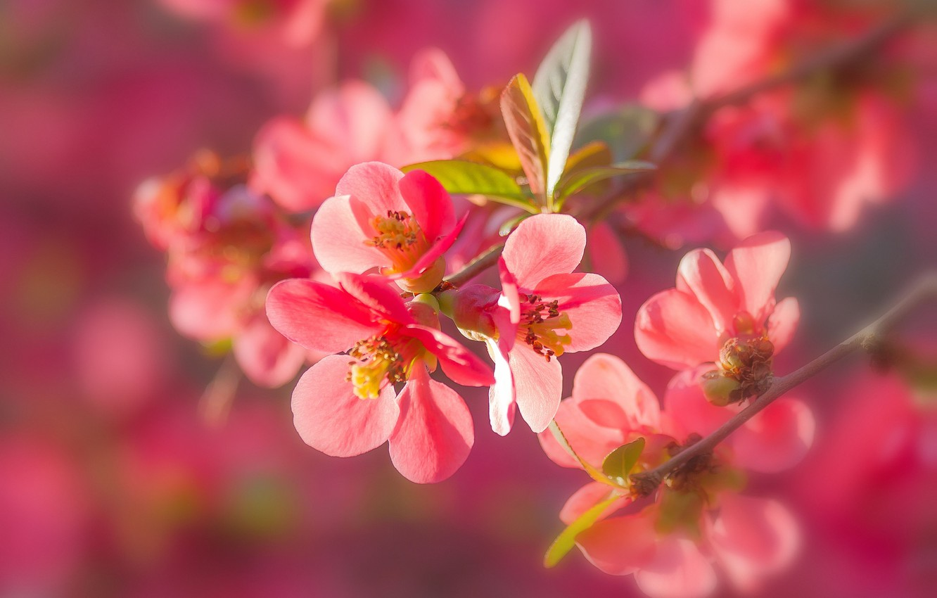Photo wallpaper macro, branches, nature, flowering, flowers, quince