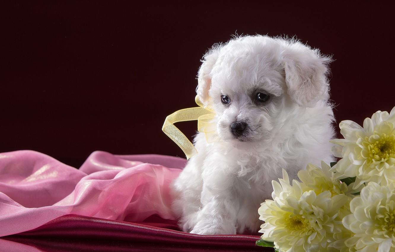 Wallpaper White Flowers Puppy Chrysanthemum Bichon Frise Images For Desktop Section Sobaki Download