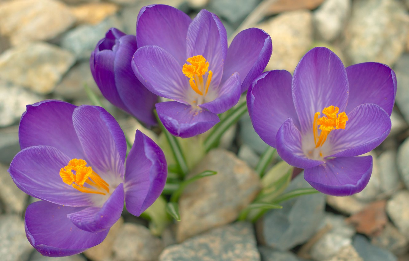 Photo wallpaper stones, petals, purple, crocuses, stamens