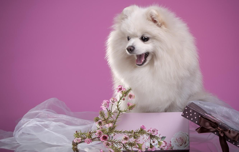 Photo wallpaper white, flowers, box, fluffy, puppy, Spitz
