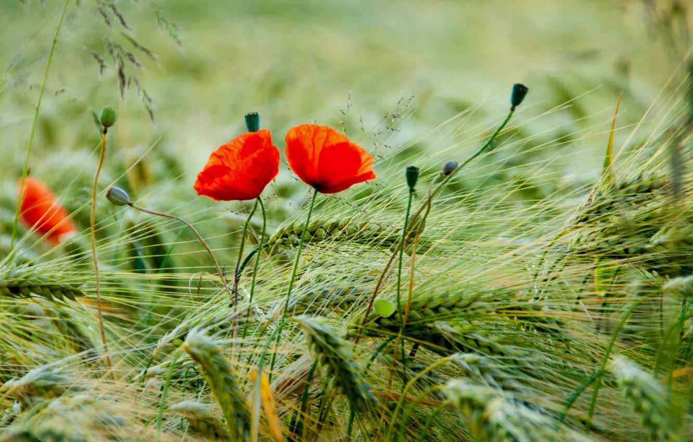 Photo wallpaper field, macro, flowers, petals, blur, spikelets, Maki, red, buds