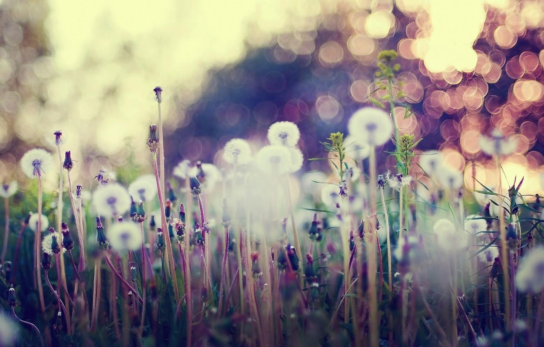 Photo wallpaper grass, macro, flowers, glare, dandelions
