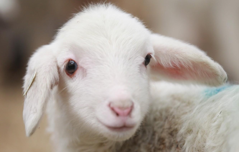 Photo wallpaper animal, village, sheep