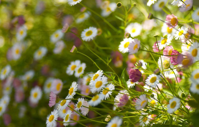Photo wallpaper field, stems, petals, view, bokeh, Daisy