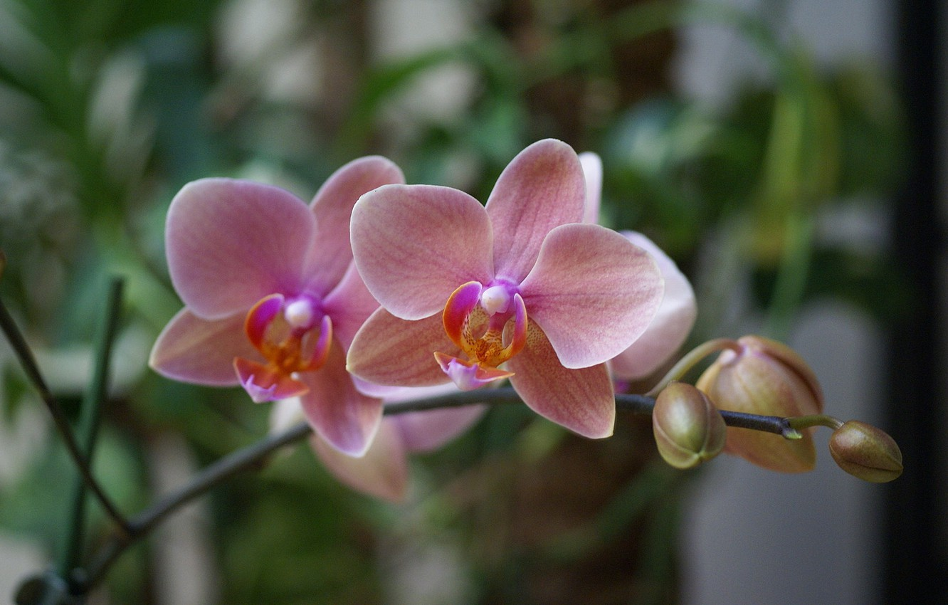 Photo wallpaper flowers, pink, beauty, exotic, Orchid, pink, blossom, Phalaenopsis, phalaenopsis, Orchid, beautiful wallpapers