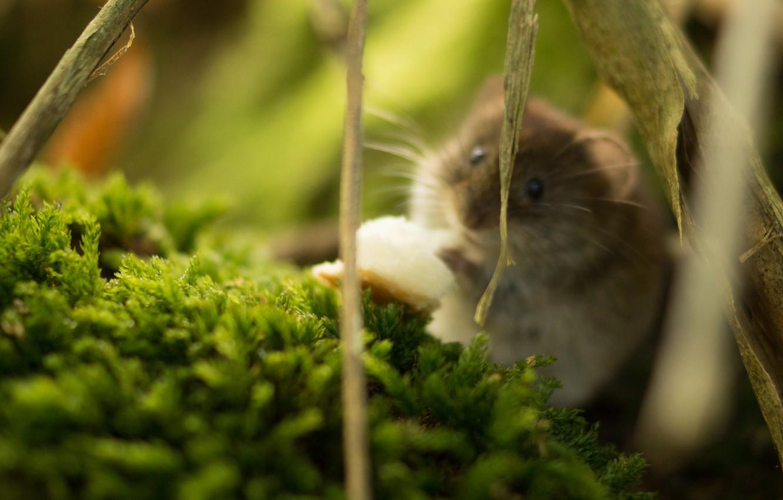 Photo wallpaper hamster, rodent, wildlife, hamster, fauna