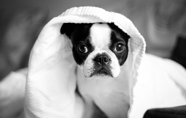Photo wallpaper animal, dog, dog, animal, Terrier, terrier