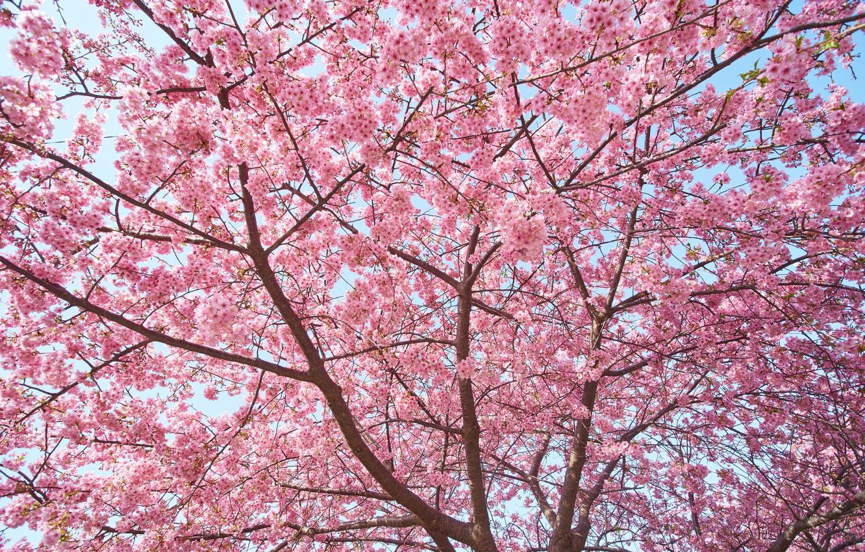 Photo wallpaper tree, pink, spring, Sakura