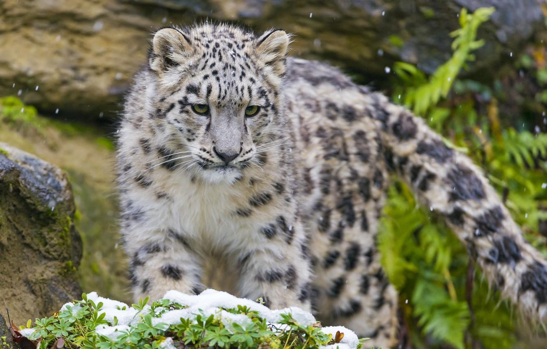 Photo wallpaper predator, muzzle, IRBIS, snow leopard, kitty