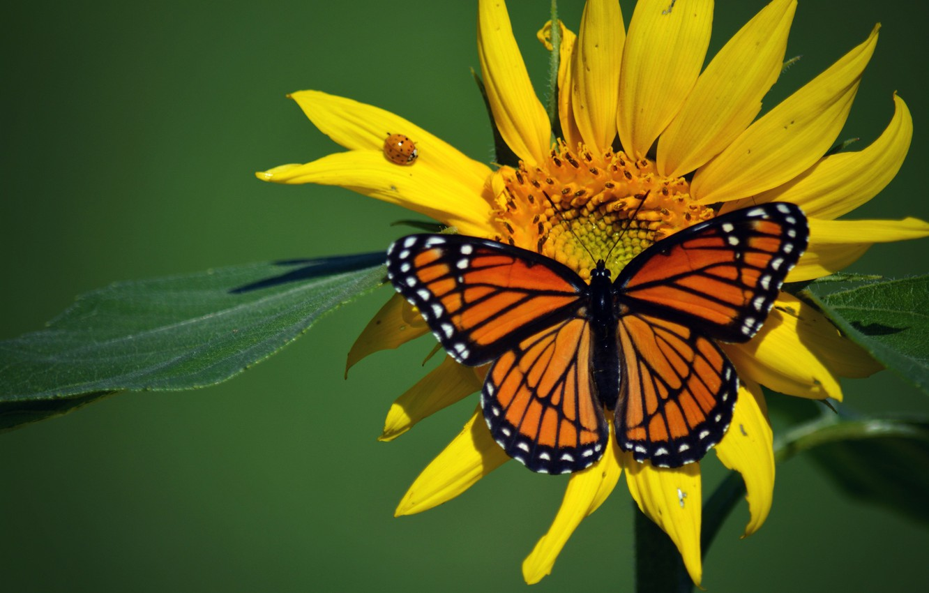 Photo wallpaper macro, insects, butterfly, ladybug, sunflower, beetle, The monarch