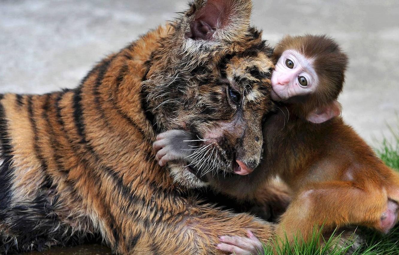 Photo wallpaper grass, tiger, monkey, hug