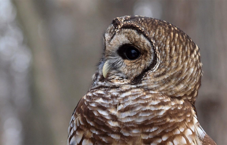 Photo wallpaper glare, grey, background, owl, bird, profile, Strix Varia, a barred owl, Barred Owl