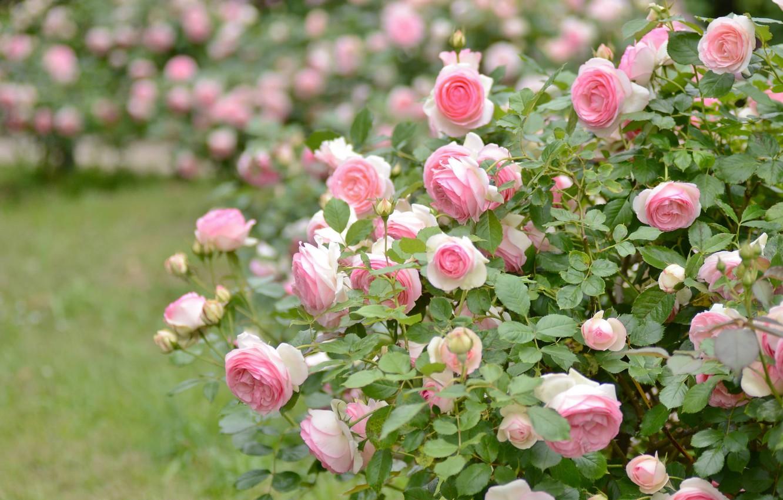 Photo wallpaper pink, Bush, roses