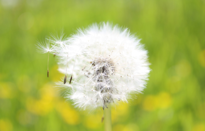 Photo wallpaper dandelion, fluffy, seeds