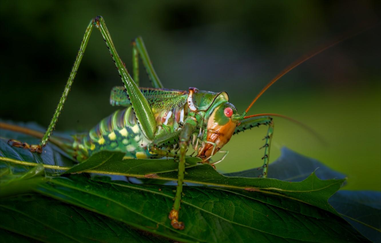 Photo wallpaper macro, insect, grasshopper, locust