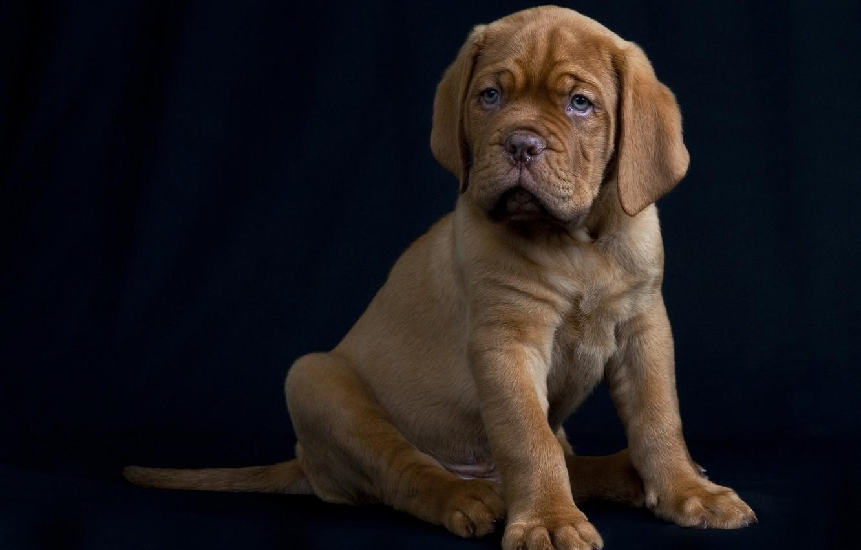 Photo wallpaper dog, puppy, black background