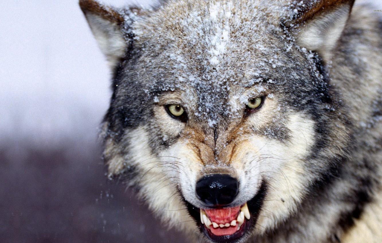 Wallpaper Beautiful Animals Wolf Images For Desktop