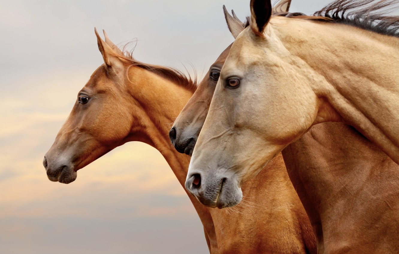 Photo wallpaper eyes, horses, portrait, horse, three, profile, red, brown, three, muzzle, Wallpaper from lolita777