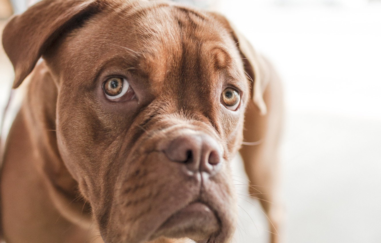 Photo wallpaper look, face, dog, bulldog, grimace, emotion, English bulldog