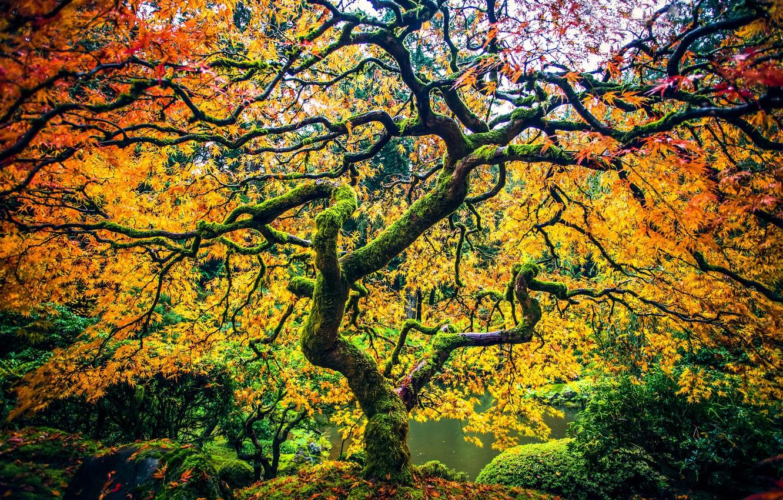 Photo wallpaper autumn, Park, tree, Oregon, Portland, maple, Oregon, Portland, Japanese maple