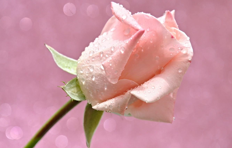 Photo wallpaper flower, water, drops, light, Rosa, rose, petals, Bud, Blik
