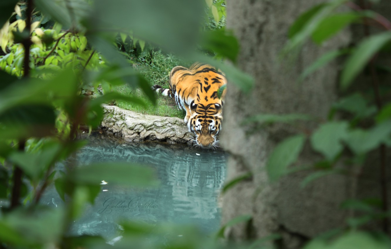 Photo wallpaper leaves, water, branches, tiger, predator, drinking