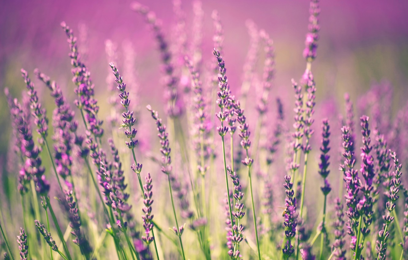 Photo wallpaper flowers, flowering, flowers, lavender, lavender, bloom