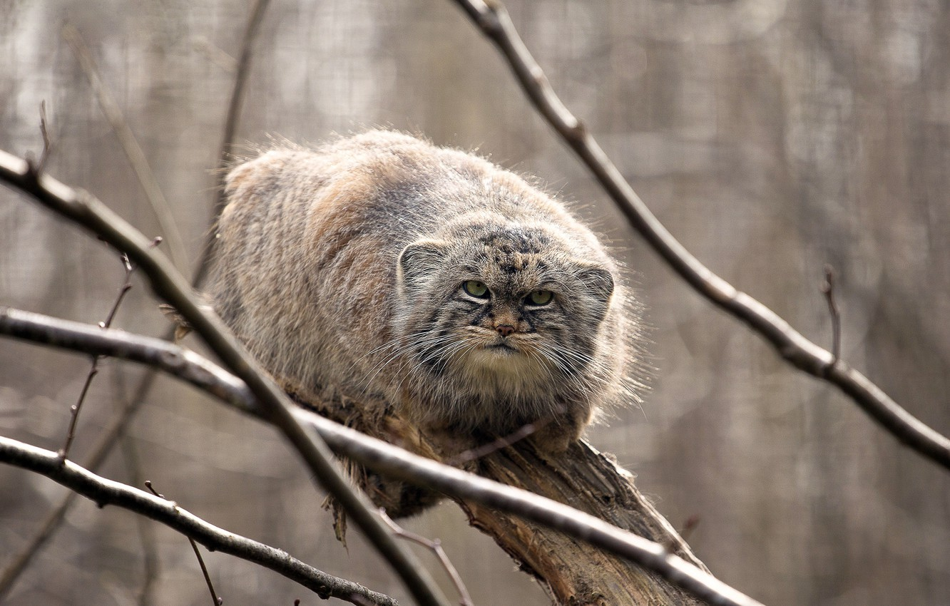 Photo wallpaper look, on the tree, manul, manul, the Pallas cat