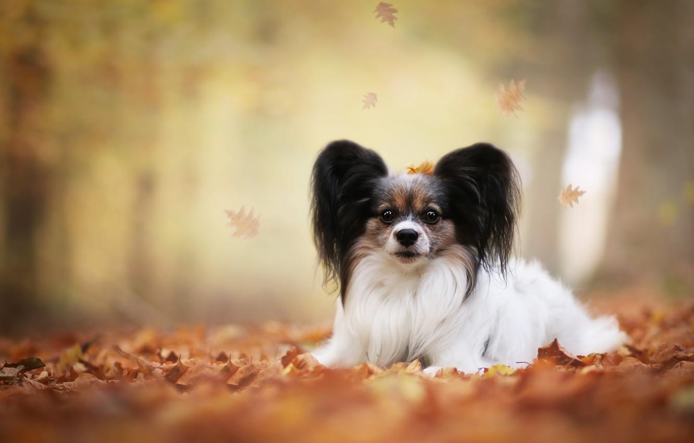 Photo wallpaper autumn, leaves, dog, bokeh, Papillon, The continental toy Spaniel