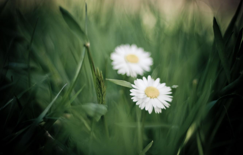 Photo wallpaper greens, grass, macro, flowers, chamomile, petals, blur, white