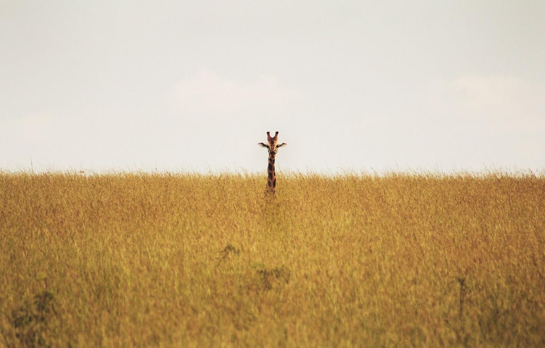 Photo wallpaper giraffe, savannah, wildlife, neck