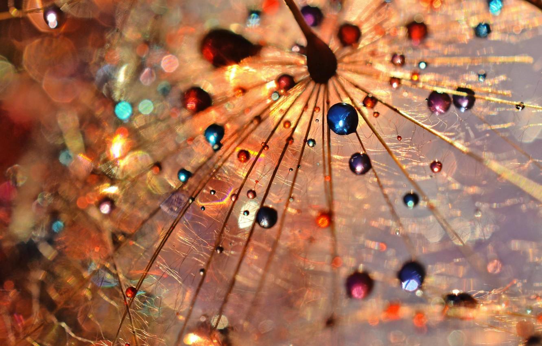 Photo wallpaper color, drops, macro, Rosa, dandelion