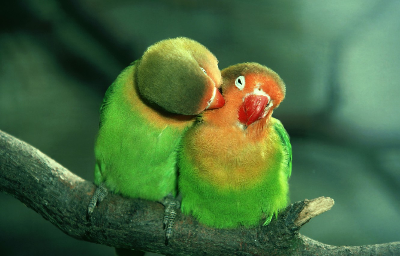 Photo wallpaper love, green, parrots