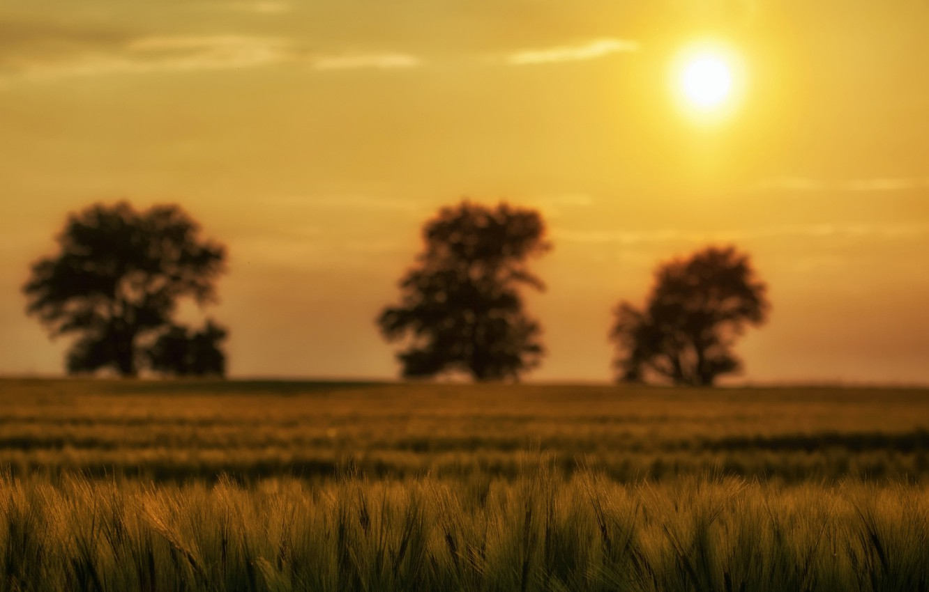 Photo wallpaper greens, the sky, the sun, macro, trees, nature, background, tree, widescreen, Wallpaper, plant, spikelets, wallpaper, …