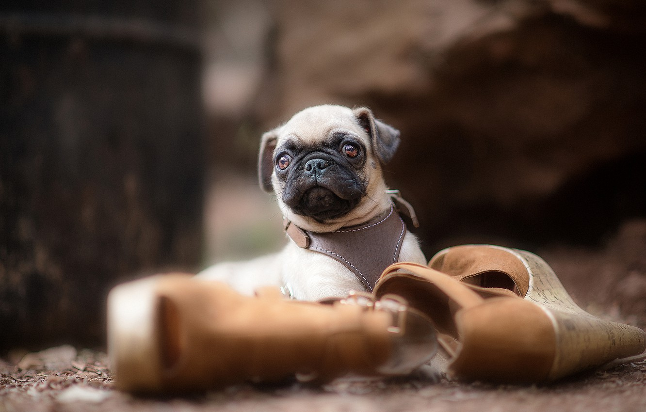 Photo wallpaper dog, shoes, pug, puppy