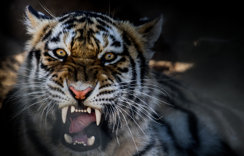 Photo wallpaper tiger, beast, growl