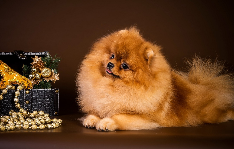 Photo wallpaper dog, mask, box, beads, Spitz