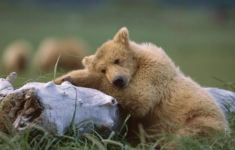 Photo wallpaper Bear, Alaska, Sleeping