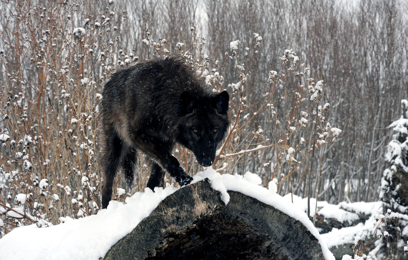 Photo wallpaper FOREST, LOOK, SNOW, WINTER, LOG, WOLF