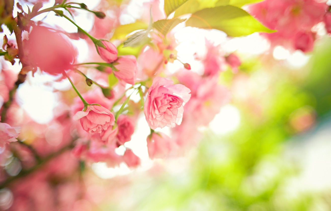 Photo wallpaper leaves, flowers, branches, tree, spring, pink
