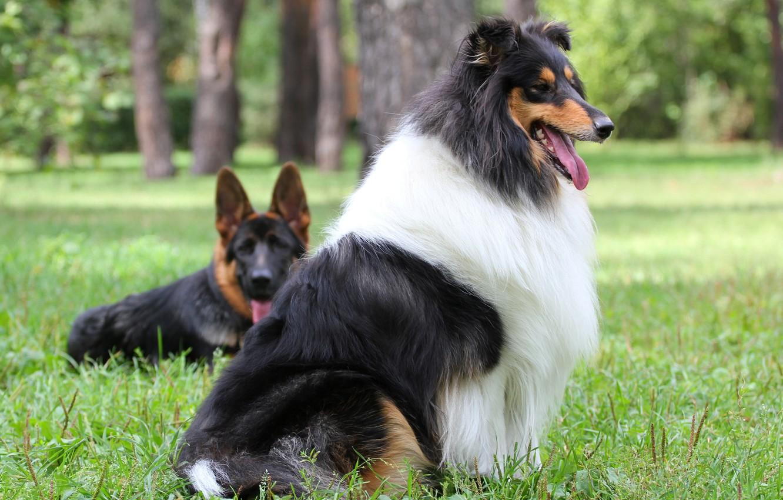 Photo wallpaper dog, dog, shepherd, collie