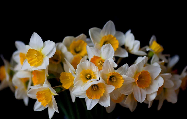 Photo wallpaper flowers, background, black, daffodils