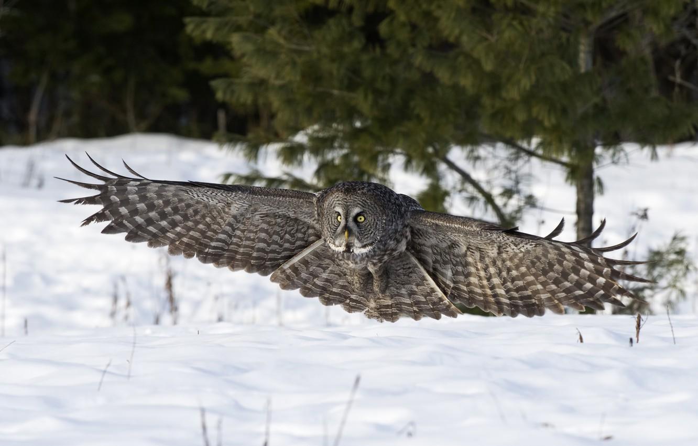 Photo wallpaper winter, snow, nature, owl, bird, wings, landing
