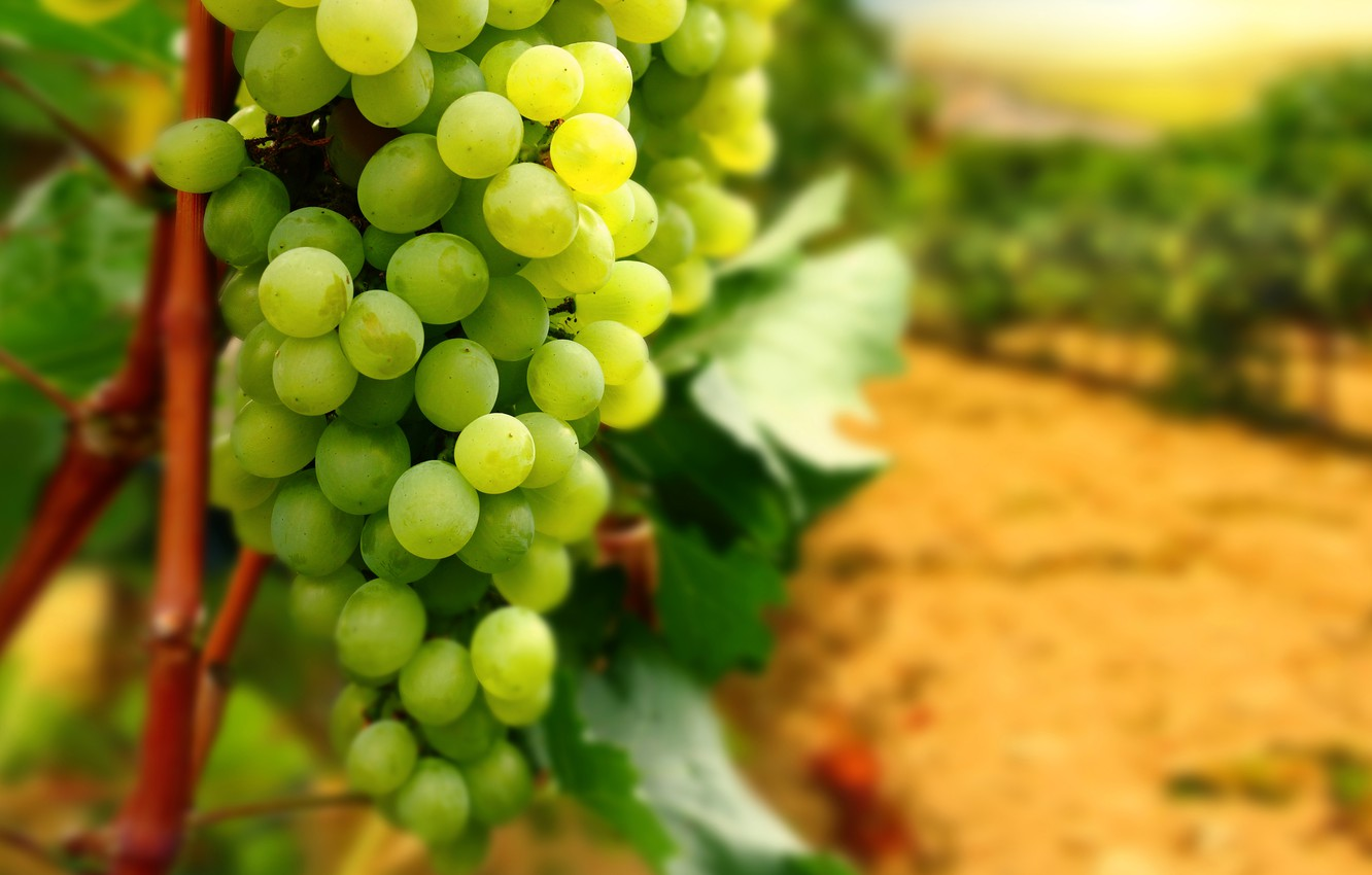 Photo wallpaper leaves, branches, grapes, bunch, vineyard