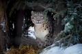 Picture cat, look, IRBIS, spruce, snow leopard
