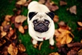 Picture dog, background, pug