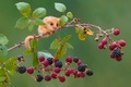 Picture berries, branch, mouse