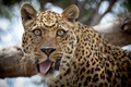 Picture leopard, look, language, funny