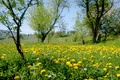 Picture flowers, dandelions, yellow, meadow, nature, trees, grass